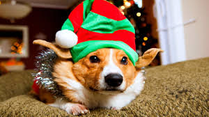 funny animal thanksgiving pictures a very corgi christmas youtube