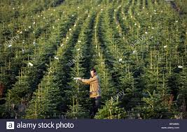 rows of nordman and noble fir trees growing on a farm in north