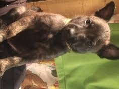 belgian shepherd ohio view ad belgian malinois dutch shepherd dog mix puppy for sale