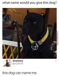 Pitbull Meme - pitbull memes best collection of funny pitbull pictures