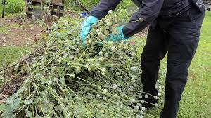 Opium by Field Of Opium Poppy Plants Worth About 500 Million Found Behind