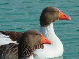 free stock photo of birds ducks geese