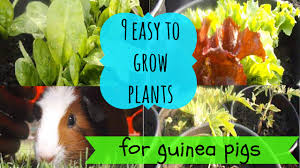 9 easy to grow plants for guinea pigs youtube