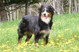 australian shepherd dog australian shepherd dog breed information and images k9rl