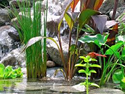 australian native aquatic plants pondii jpg