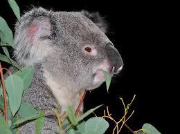 High Koala Meme - koala bear eating eucalyptus free pictures stock photos wild