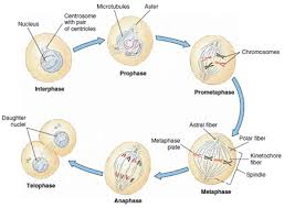 Mitosis And The Cell Cycle Worksheet Yr 11 Topic 1 Cell Cycle Amazing Of Science Withmr Green