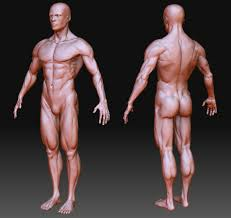 Human Figure Anatomy Male Body Anatomy Reproductive System Anatomy Of The Human Body