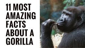 gorilla lessons tes teach
