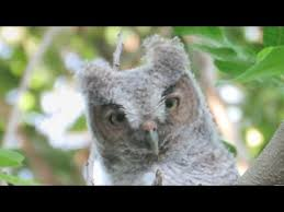 baby eastern screech owl in tree