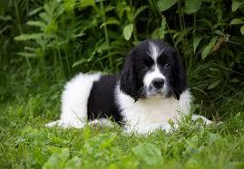 australian shepherd newfoundland newfoundland puppies for sale akc puppyfinder