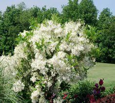 flowering dogwood tree cornus florida tree flowers and such
