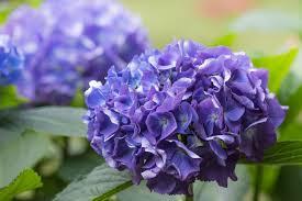 fiori viola ortensia coltivazione e cura unadonna