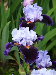 growing and caring for the bearded iris