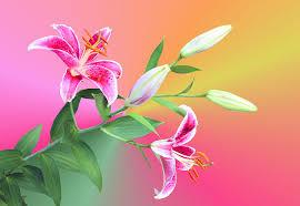 Star Gazer Lily Stargazer Lilies Photograph By Kristin Elmquist