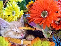 thanksgiving kitten asleep in a gerbera basket cat