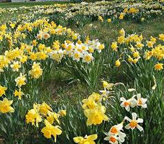 landscape grade daffodil bulbs white flower farm