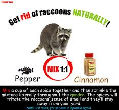 cinnamon and pepper keep raccoons away garden pinterest