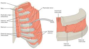 Anatomy Of The Shoulder Girdle Thoracic And Abdominal Muscles