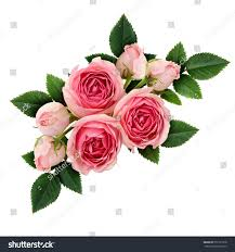 pink rose flowers arrangement isolated on stock photo 557131978