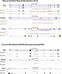 Indeed Ckm Tbp Tfiid Dependent Activation Of Myod Target Genes In Skeletal
