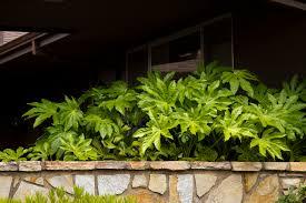 Japanese House Plants by Japanese Aralia Monrovia Japanese Aralia