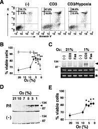 hypoxia inducible factor regulates survival of antigen receptor
