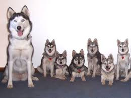 american eskimo dog vs keeshond husky samoyed or malamute quiz rover com