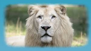 lion hd wallpaper android apps on google play