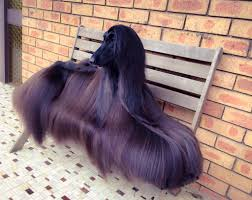 afghan hound rescue england glossy afghan hound becomes internet sensation dogs today magazine