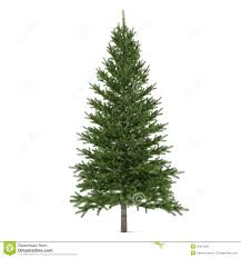 tree isolated pinus fir tree royalty free stock images image