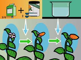 feed plants in a hydroponics system using maxsea 4 steps