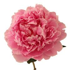 flower delivery free shipping pink peony flower may delivery fiftyflowers 30 peonies for