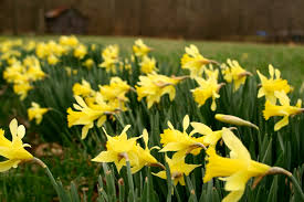 field of yellow daffodils spring flowers free nature pictures