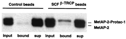 Anti Flag Affinity Gel Protacs Chimeric Molecules That Target Proteins To The Skp1