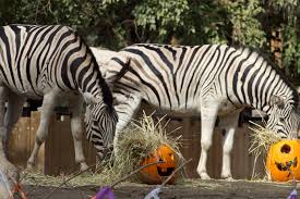 pumpkin halloween enrichment for zebras from the fresno chaffee
