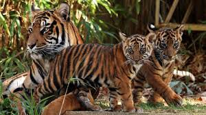 Zoo Lights Jacksonville by Jacksonville Zoo U0027s Tiger Exhibit Set To Open Nbc 6 South Florida
