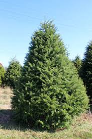 douglas fir christmas tree nyc tree purchase douglas fir christmas tree