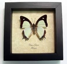 polyura jalysus indian yellow nawab green framed butterfly
