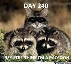 Funny Raccoon Meme - cute funny raccoon memes google search funny animals