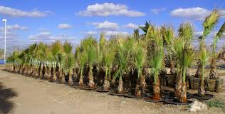 mexican fan palm growth rate san angelo cold hardy palms and cycads nursery