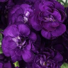 purple carnations purple mini carnation flowers