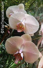 phalaenopsis sp phalaenopsis orchid moth orchid toptropicals com