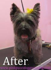 cairn terrier haircuts cairn terrier grooming before and after good galleries cairn