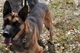 belgian shepherd us army moody afb welcomes new pups u003e moody air force base u003e article display
