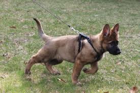 belgian malinois names introducing echo vom fullforce 11 weeks german shepherd dog