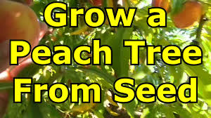 how to grow a tree from seed