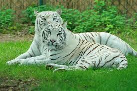 picture 7 of 9 white tiger panthera tigris tigris pictures