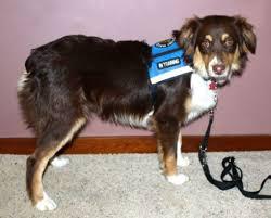 australian shepherd service dog diabetes red gate farm