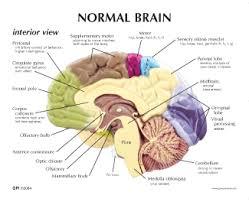 Image Of Brain Anatomy Human Half Brain Anatomy Model 2950 For Sale Anatomy Now